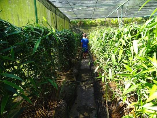 Plantation de vanille