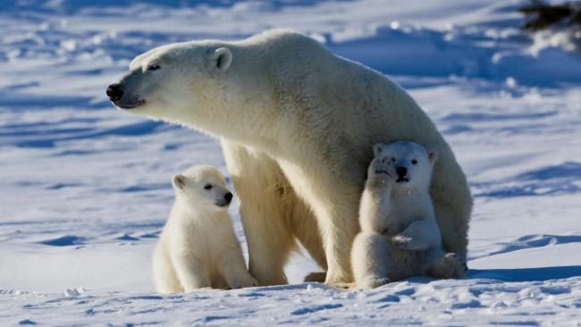 Polar-Bear-Capital