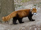 1wNTtDtbGnbaThqr5V9cH76WOft6JHUysq5bgb HVf0 TIL that the red panda is so unique, it has no close relatives. Its the only living species in its genus AND family.