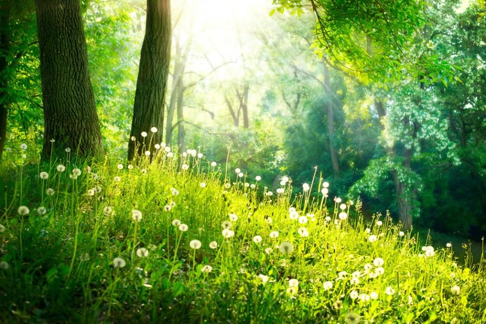 Waldlichtung mit Pusteblumen