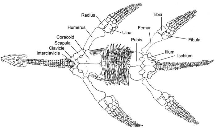 Plesiosaur anatomy Smith 2008