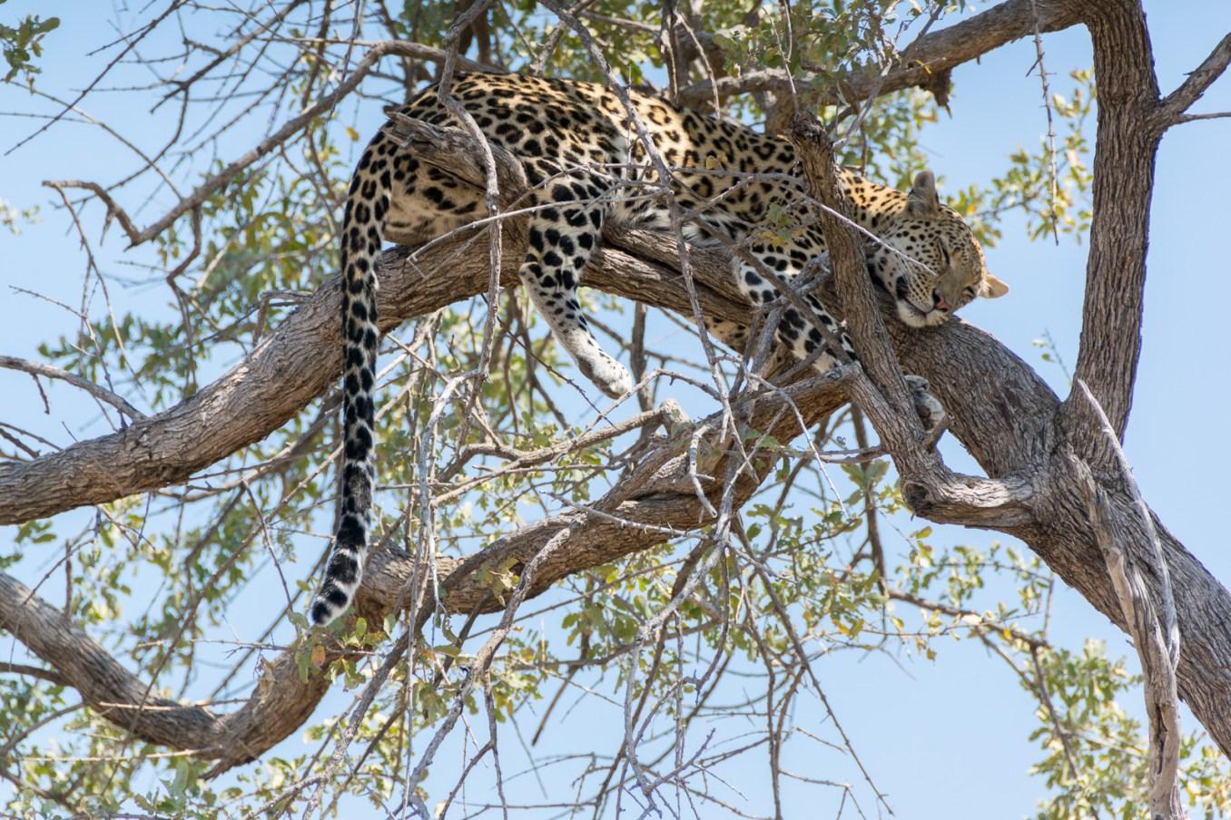 leopardo_moremi