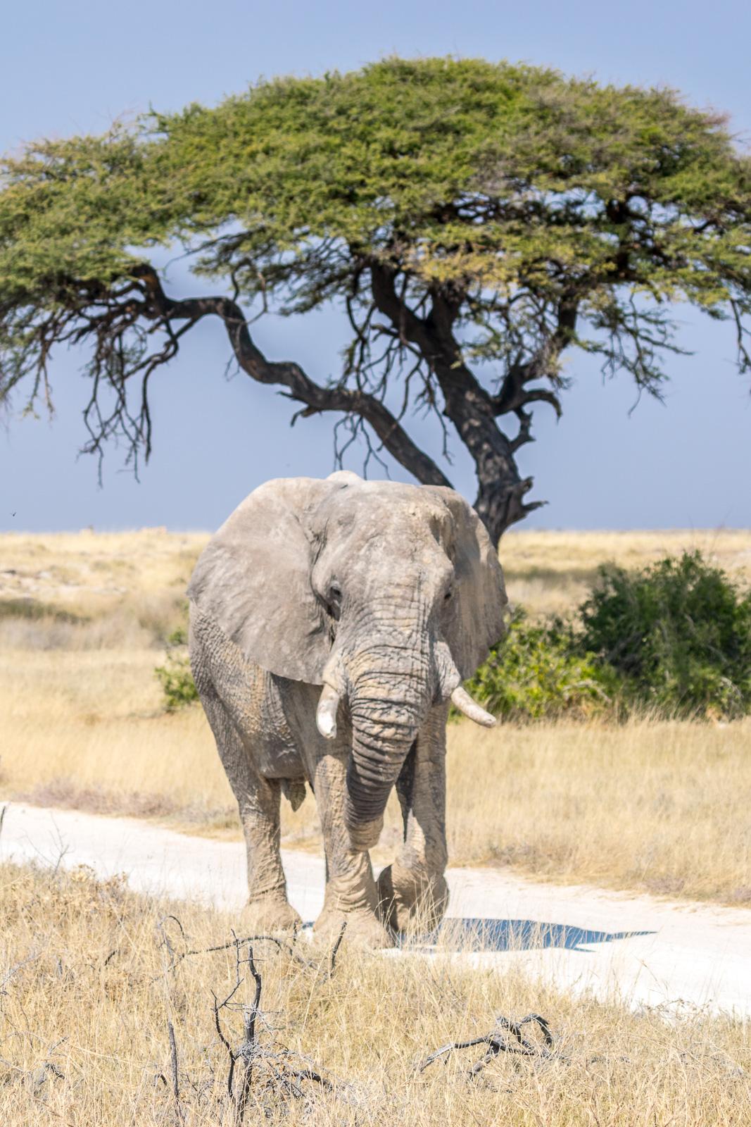 Africa, Namibia, Etosha, elephant