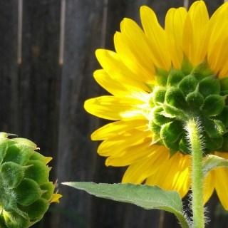The optimistic, inconsistent, oblivious gardener