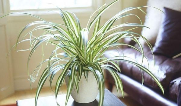 plante-araignee-depolluante-interieur