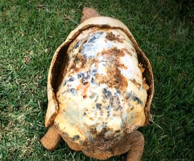 carapace-impression-3D-tortue-Freddie-3