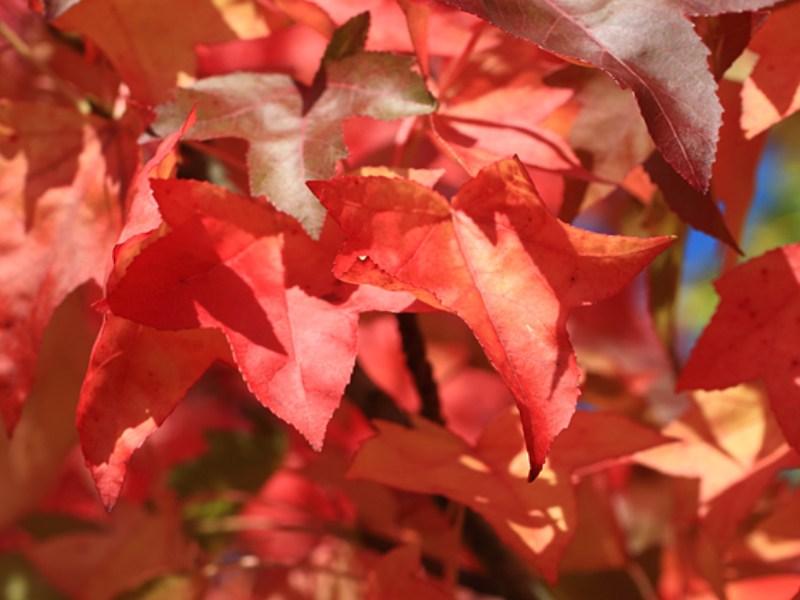 pourquoi-les-feuilles-changent-de-couleur111