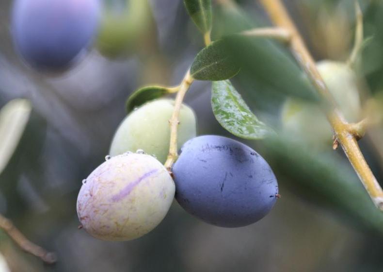 Oliven aus der Toskana | Credits: Fattoria La Vialla