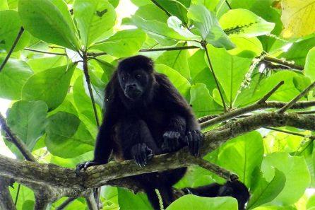 Schwarzes Kapuzineräffchen im Wald von Costa Rica
