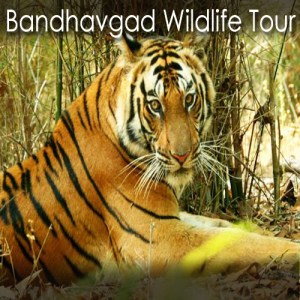 Bandhavgarh Wildlife