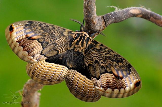 The Sino-Korean Owl Moth