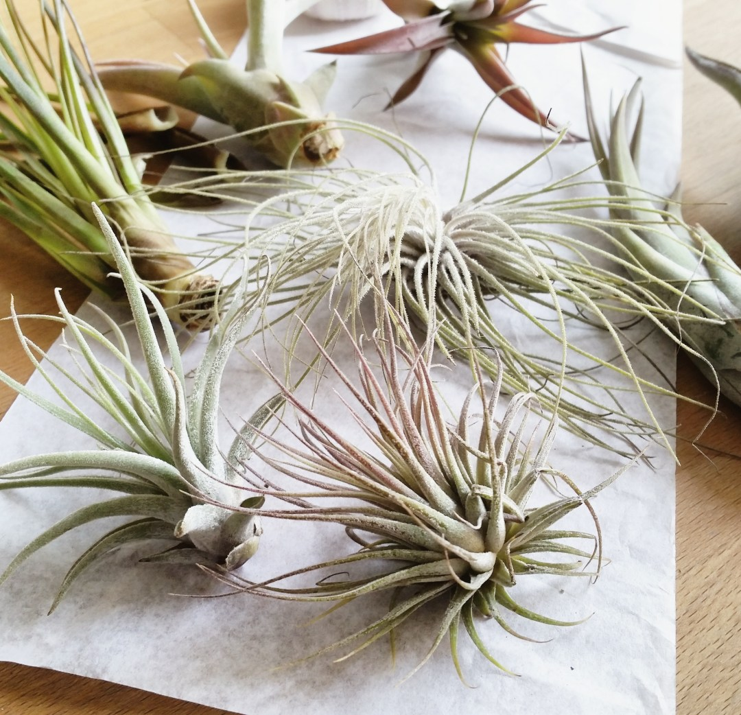 Last Week - I ordered some air plants