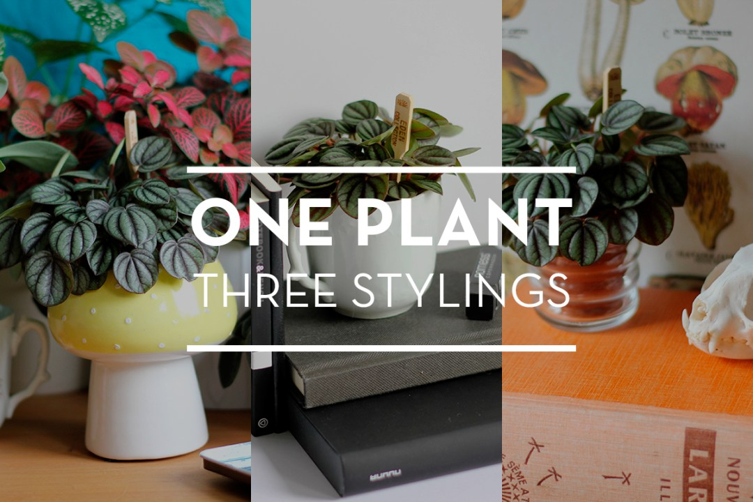 Urban Jungle Bloggers - One plant, three stylings