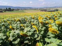 Sonnenblumen lassen die Köpfe hängen
