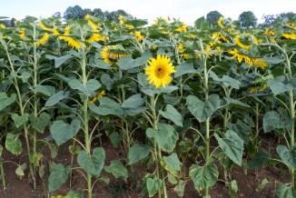 Neugierige Sonnenblume