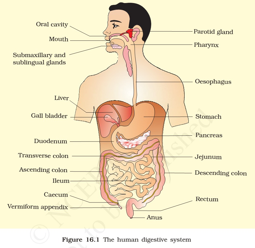 Essays On The Digestive System Short Gut