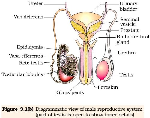 Male Reproductive System - ncert