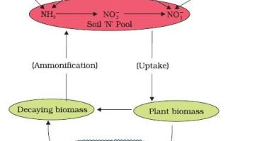 Plant Nutrition – Photosynthesis | Nitrogen Cycle, Fixation