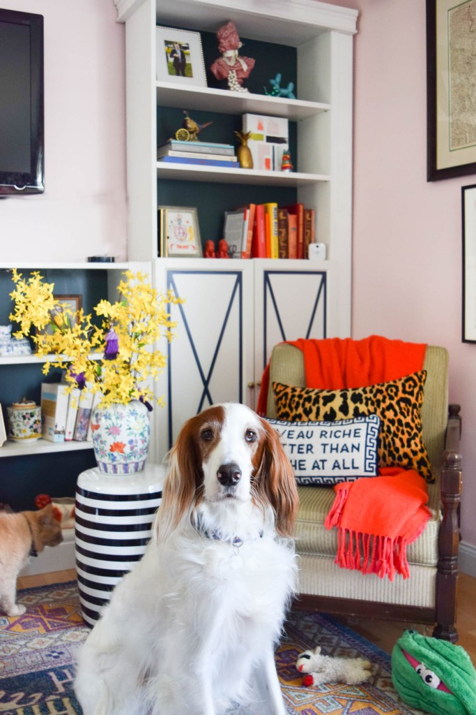 Red and White irish setter sitting in front of chair and bookcase
