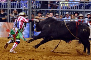The rodeo clown, distracting the bull