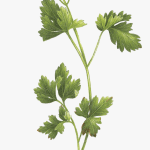Bouquet Garni Png Download Tattoo Parsley Sage Rosemary And Thyme Transparent Png Transparent Png Image Pngitem