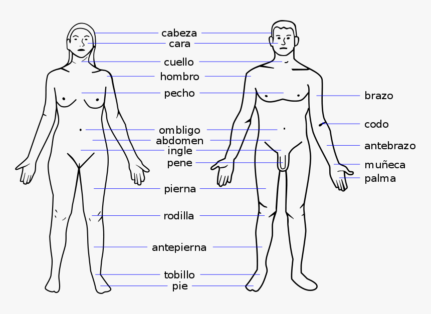 Female Body Parts Name With Picture Free Of The Download Human Body Parts Name In Spanish Hd Png Download Transparent Png Image Pngitem