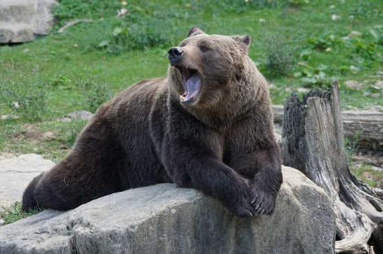 Медведей посадят на цепь для притравки собак