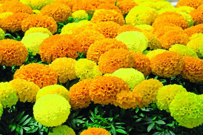 मकवानपुरबाट २० प्रतिशत फूल तिहारलाई
