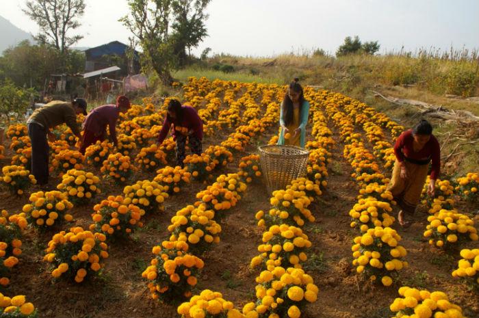 तिहार शुरु भएसँगै फूलको व्यापार बढ्यो