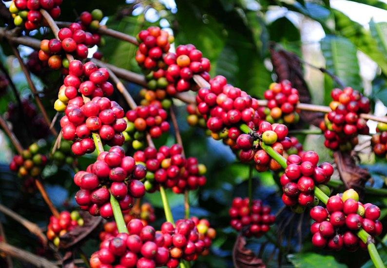 सिन्धुपाल्चोकमा सवा करोड बढीको कफी उत्पादन