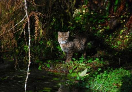 Bobcat (Lynx rufus pallescens)