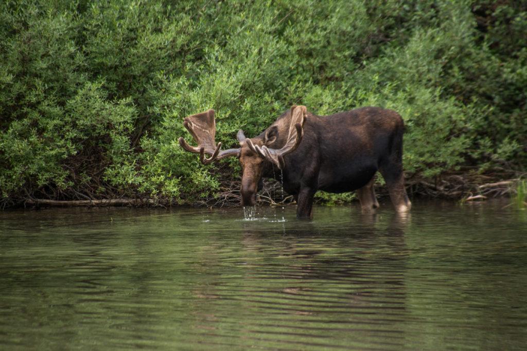 A bull moose in Glacier National Park.