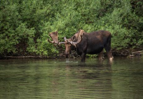 A bull moose in Glacier National Park