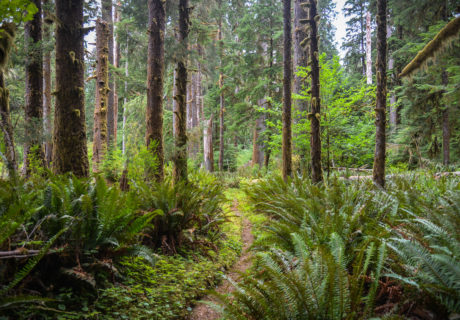 The PNT in a Coastal Forest in Olympic NP