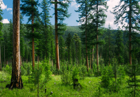 Forests in the Purcell Mountains