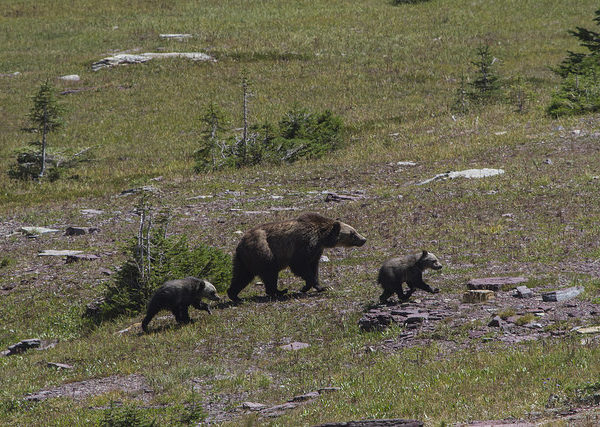 Grizzly Bear Sow and Cubs