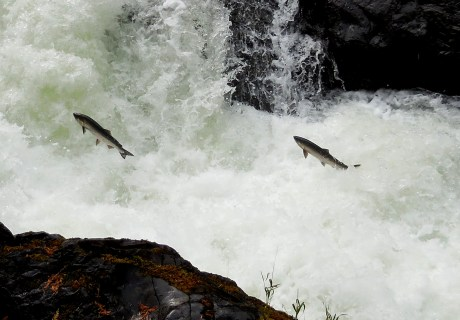 Coho salmon jumping along the Sol Duc River