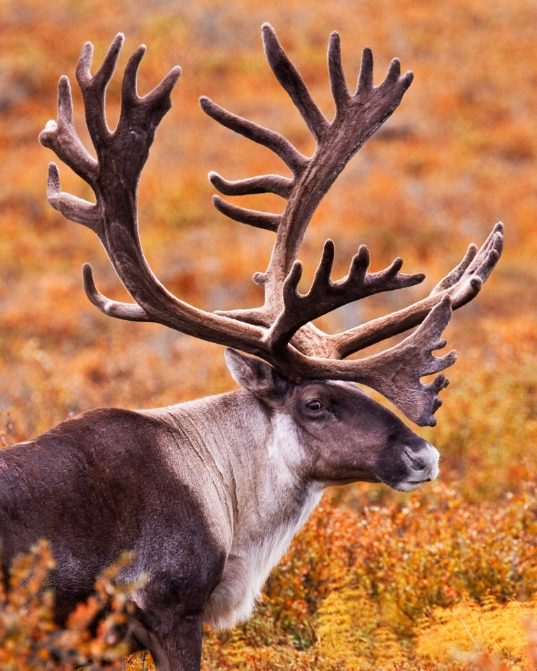 Woodland Caribou (Rangifer tarandus caribou)