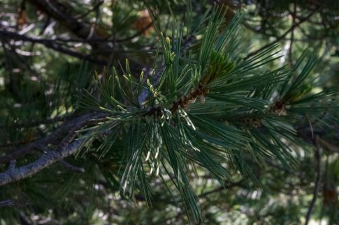 Whitebark pine needles grow in bundles of five. Photo by Jeff Johnson, Community Outreach Coordinator at the Lands Council.
