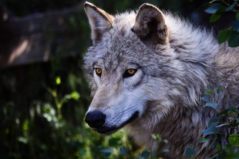 """The PNT passes through nearly 600 miles of wolf habitat. Eastern Washington may offer the best chance to spot gray wolves, home to about 15 distinct packs. """"Gray Wolf"""" by Jeremy Weber is licensed under CC by 2.0"""