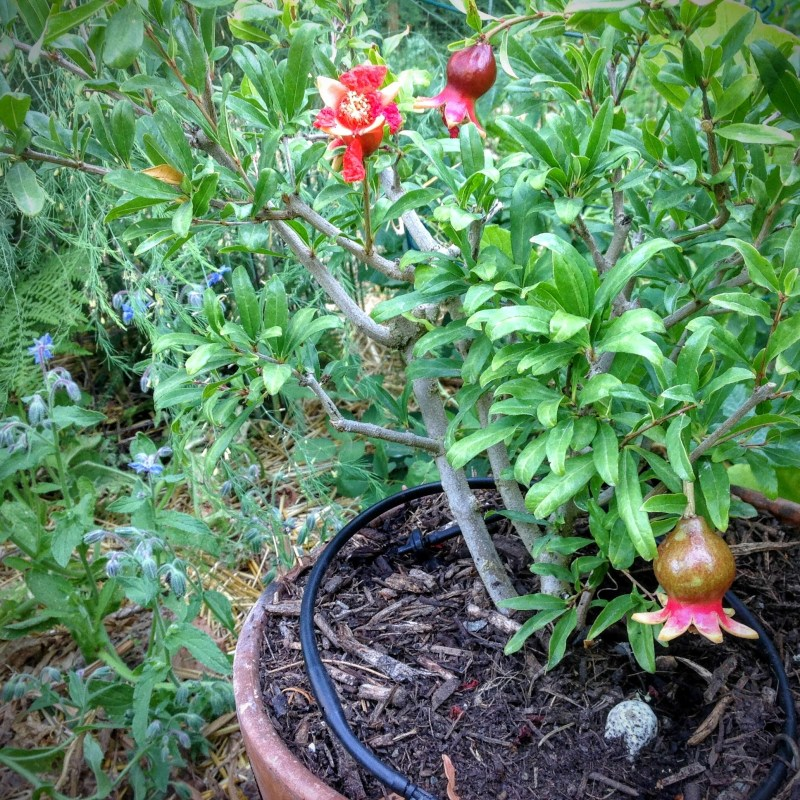 Red Angel Pomegranate in the August PNW Garden