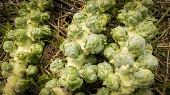 sprouts for Thanksgiving!
