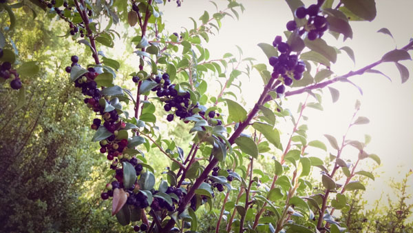 The Huckleberry Harvest - Medicinal Benefits Plus Tips for Easy Picking & Preserving