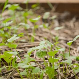 volunteer cilantro, love this cool season crop