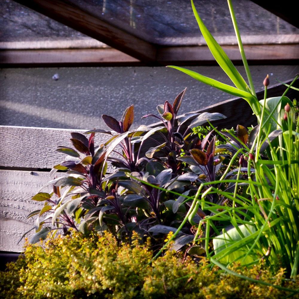 Grow Your Own PNW Medicinal Tea Garden