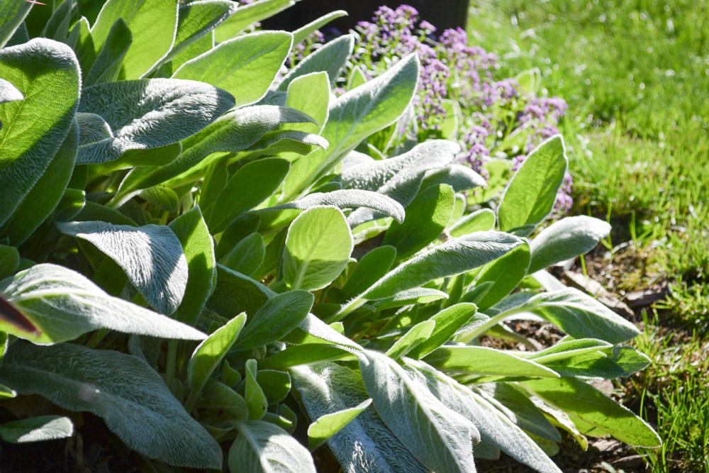Lamb's Ear growing in our PNW Medicinal Tea Garden