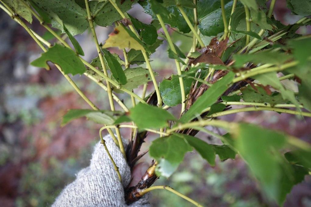 Wildcrafted Oregon Grape