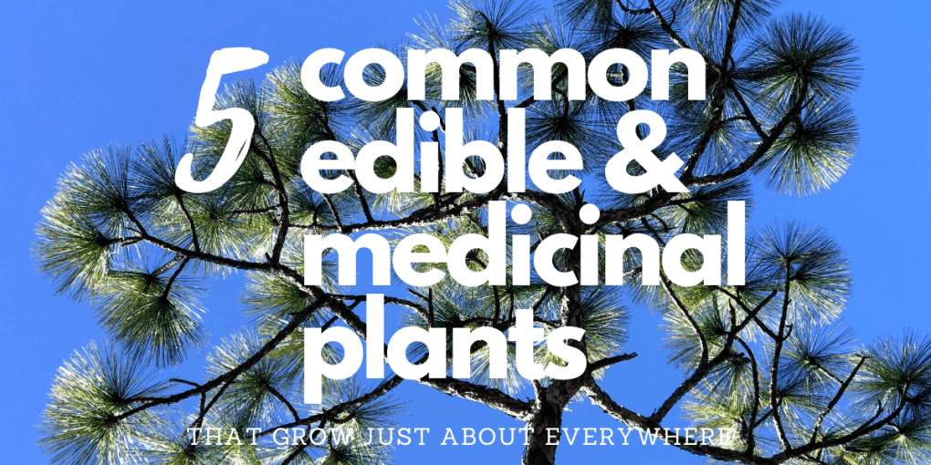 Edible and Medicinal Plants that Grow Just About Everywhere