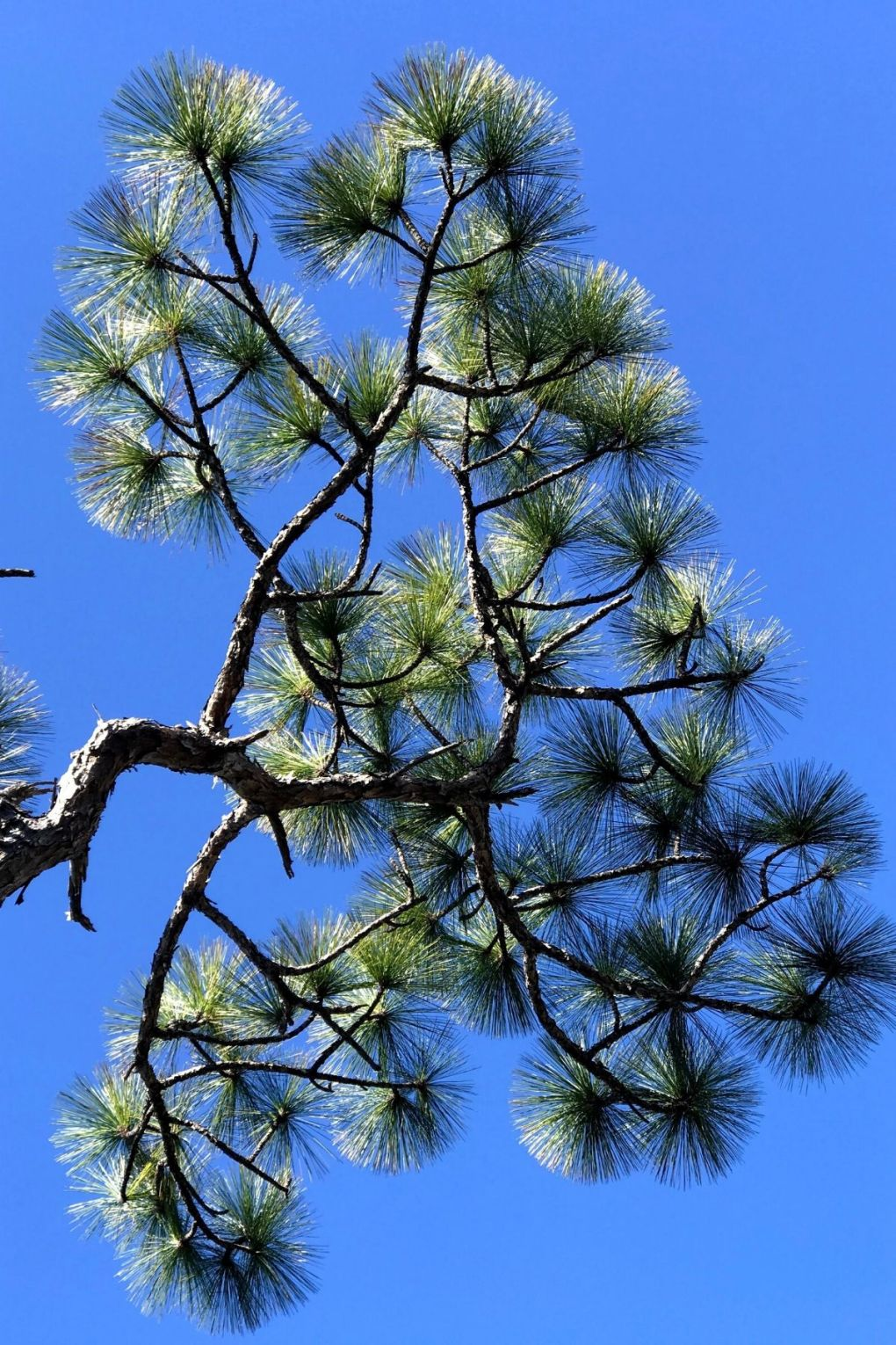 Edible and Medicinal Plants that Grow Just About Everywhere - Pine needles
