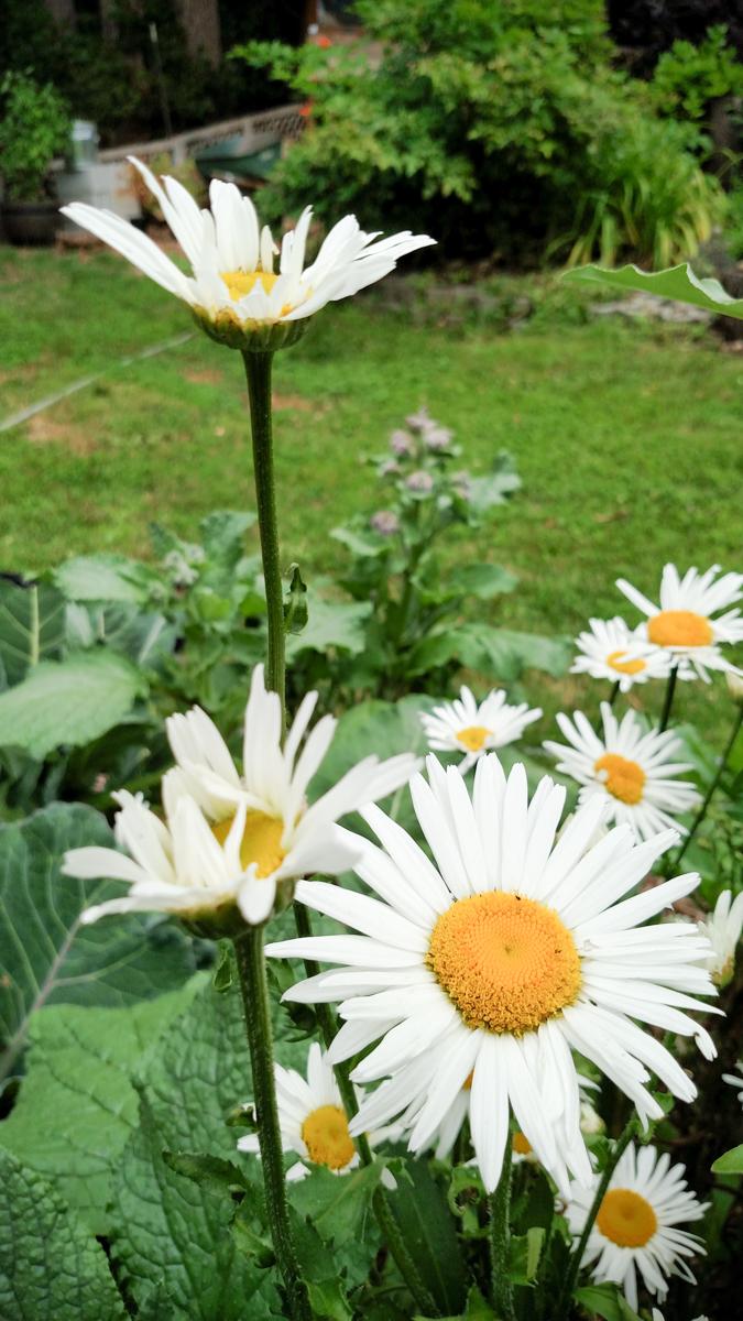 Oxeye Daisy in the Garden (Chrysanthemum leucanthemum)